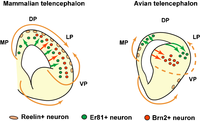 Schematic illustration of differences in neuronal specification and migration patterns between the mammalian and avian pallium.png