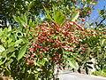 Schinus terebinthifolia, loof en vrugte, b, Pretoria.jpg