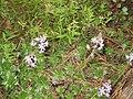 Scilla autumnalis 2.jpg