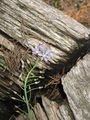 Scilla autumnalis close-up.jpg