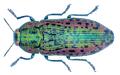 Scintillatrix dives (Guillebeau, 1889).png