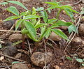 Sclerocarya birrea - seedlings (11382782733).jpg