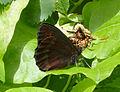 Scotch Argus. Erebia aethiops. underwing (15586235603).jpg