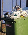 Scraps for a starling - geograph.org.uk - 1074583.jpg
