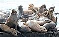 Sea Lions 2 (15398402387).jpg