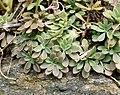 Sedum cepaea plant (30).jpg