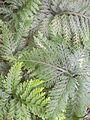 Selaginella flabellata (sélaginelle - Guadeloupe).jpg