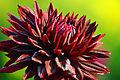 Semi-Kaktus-Dahlie Black Jack 1.jpg