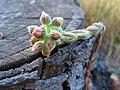 Sempervivum buds.jpg