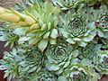 Sempervivum calcareum abl3.JPG