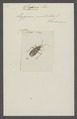 Sephina - Print - Iconographia Zoologica - Special Collections University of Amsterdam - UBAINV0274 040 04 0002.tif