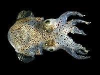 Sepiola atlantica