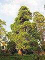 Sequoia Gigante (età 200-220 anni) - Ripacandida.jpg