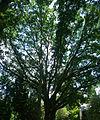 Sequoia géant - Arboretum Gaston Allard.jpg