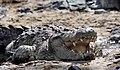 Serengeti Nile croc JF2.jpg