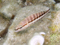 Serranus cabrilla Corse.png