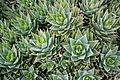 Ses Salines - Botanicactus - Aloe perfoliata 08 ies.jpg
