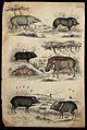 Seven different specimen of the family Suidae (pigs) shown i Wellcome V0020920ER.jpg