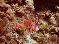 SharmRotfeuerfisch.jpg