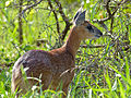 Sharpe's Grysbok (Raphicerus sharpei) female (11802907996).jpg