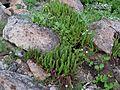 Shasta Fern on Serpentine Soil - Flickr - brewbooks.jpg