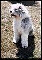 Sheba, my Old English Sheep Dog when living in Canberra. (5060930522).jpg