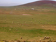 Sheep grazing in Morocco.jpg