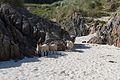 Sheep on the beach, iona (15250500482).jpg