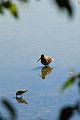 Short-billed Dowitcher, Reifel Sanctuary.jpg