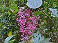 Showy Asian Grapes (Medinilla speciosa) (6771873895).jpg