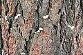 Siberian Larch bark.jpg