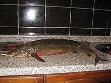 рыба красная картинки