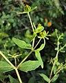Sigesbeckia orientalis 09.JPG