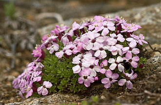 Arctic–alpine - Silene acaulis growing in northern Norway (Arctic; 67° N; 100 m above sea level)