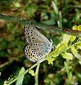Silver-studded Blue.Plebejus argus - Flickr - gailhampshire (1).jpg