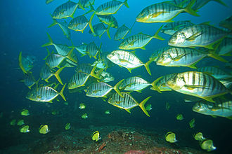 Golden trevally - A school of subadult golden trevally in Panama