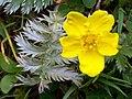 Silverweed (Potentilla anserina) (4623596399).jpg