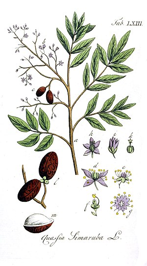 Simarouba amara - Illustration of S. amara (as Quassia simarouba) drawn by Adolphus Ypey and published in 1813. Note that the flowers are incorrectly coloured and should be yellow.