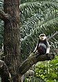 Singapore Zoo Douc Langur-2 (6636765181).jpg