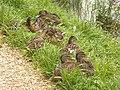 Sinister ducks (2871376694).jpg