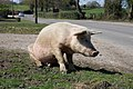 Sitting pig - New Forest Hampshire.jpg