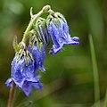 Skäggklocka (Campanula barbata)-4872 - Flickr - Ragnhild & Neil Crawford.jpg