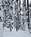 Skier on Spring Creek Trail (2231e9b6-791b-44b1-be97-6c704c99d296).jpg