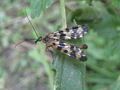 Skorpion milçək (Mecoptera).png