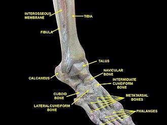 Interosseous membrane of leg - Image: Slide 2dede