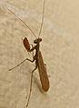 Small Mantis (Mantidae, Amelinae) (Id ?) (17390828005).jpg