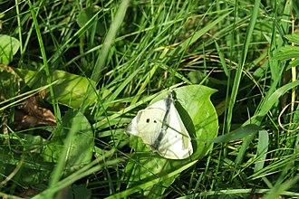 Pieris rapae - Small whites mating. German/Dutch border region