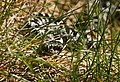 Snake in the Grass - geograph.org.uk - 1251933.jpg