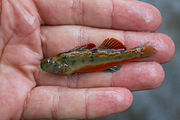 Snubnose Darter, Etheostoma simoterum.jpg