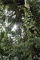 Socratea exorrhiza (11033909564).jpg